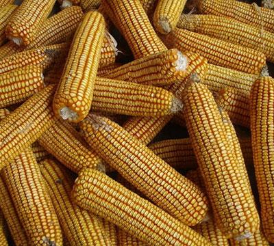 玉米施用微生物菌